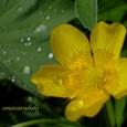 這金鳳花~ハイキンポウゲ