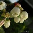 ブルーベルーの花
