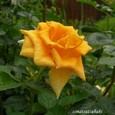 父庭の薔薇
