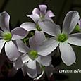 オキザリス紫の舞