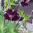 クロハナフウロ:黒花フウロ