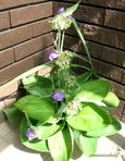 ギボウシと紫露草