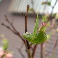 ブルーベリー⑦ 鉢植え1