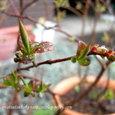 ブルーベリー⑦ 鉢植え2