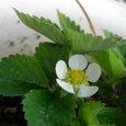 苺⑧季節外れの花