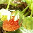 苺⑨季節外れの実