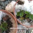 苺①雪下より
