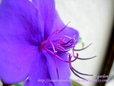 シコンノボタン~紫紺野牡丹