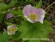 シラネアオイ~白根葵