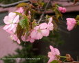 エゾヤマザクラ~蝦夷山桜