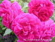 薔薇 ザ・メイフラワー