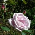 薔薇 ブルームーン