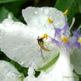 紫露草~白