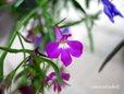 ロベリア・mix種②紫スポット入り