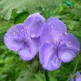 紫露草~紫