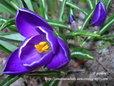 クロッカス 青紫