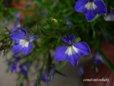 ロベリア・mix種⑤青スポット入