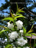 ニワザクラ~庭桜~