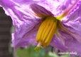ナスの一番花