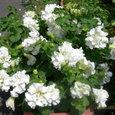 ペチュニア八重咲き白