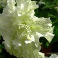 ペチュニア八重白・花