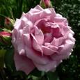 薔薇 シャルル・ド・ゴール