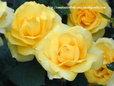 薔薇 エバーゴールド