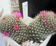 サボテン「月影丸」~名前とは正反対の可愛い花