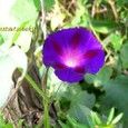 アサガオ ~紫~