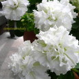 ペチュニア 八重咲き ~種から~
