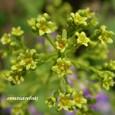 スモークツリーの小花