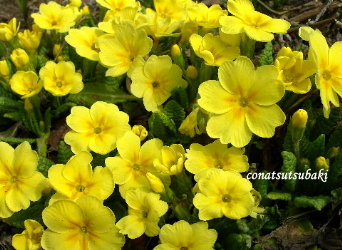プリムラ黄